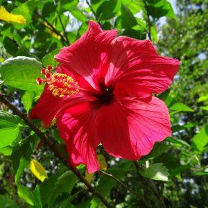 cayena planta medicinal