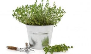 cultivar-tomillo-668x400x80xX
