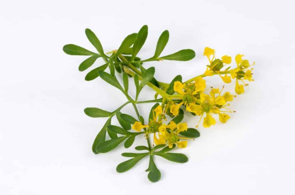 la ruda es uno de los mejores remedios naturales para aliviar el dolor de los juanetes