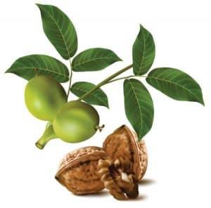 las hojas de nogal son uno de los efectivos remedios caseros para las canas