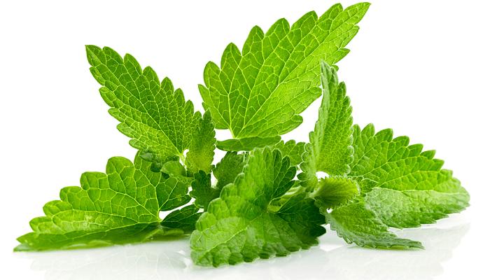 menta, planta medicinal