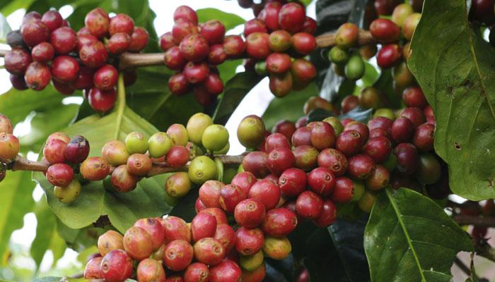 Bayas de café para el tipo de piel combinada