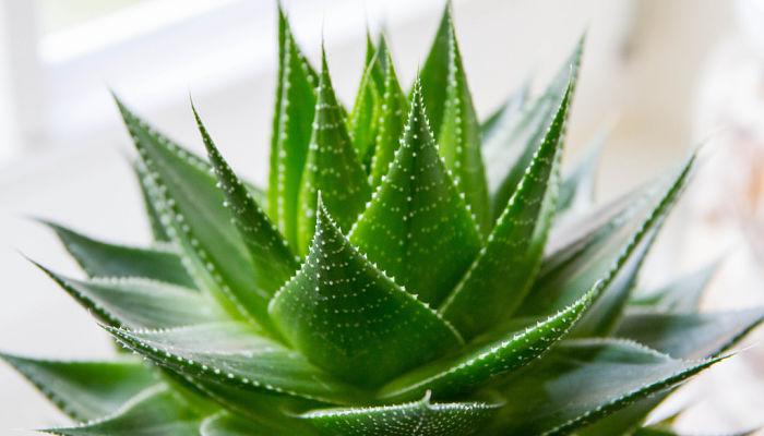 disfruta los beneficios de esta planta milenaria