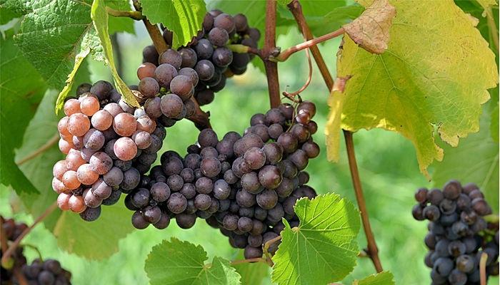 las mejores uvas, para los mejores vinos