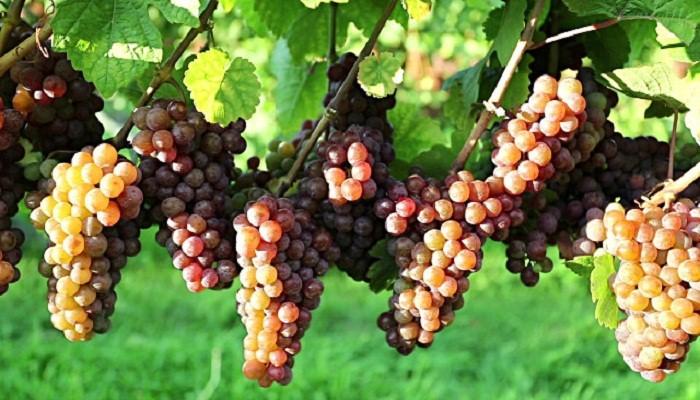 su color y su aroma son esenciales para un buen vino